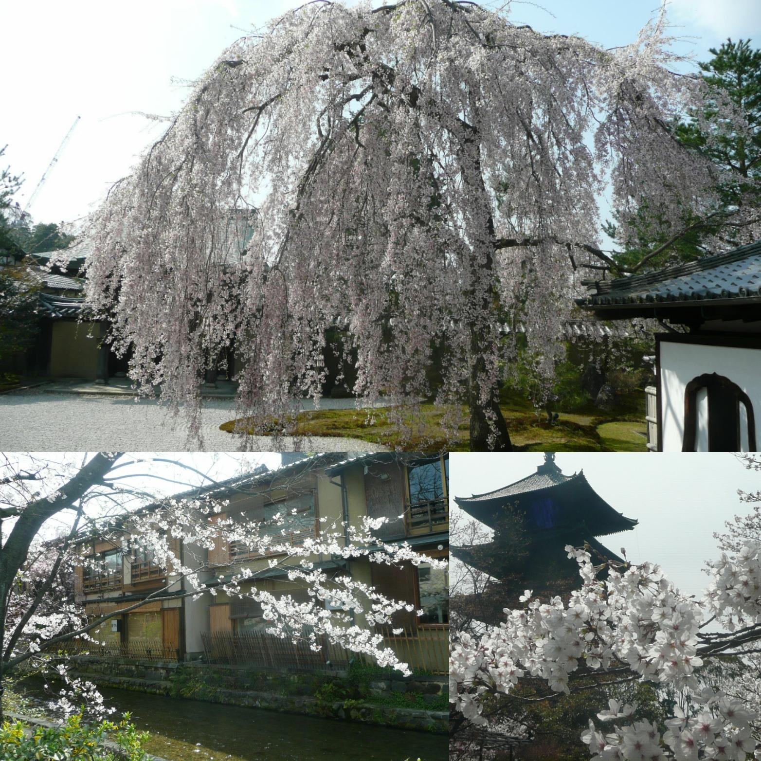 〇〇な休日・番外編第2話・利用者さんの〇〇な休日~京都へ桜のお花見に行ってきました。~
